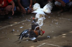 Metajen or cockfighting becomes an essential part of cultural tradition in Bali